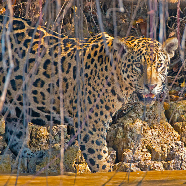 Into the River, Jaguar, Pantanal, Brazil, by Robert Ross