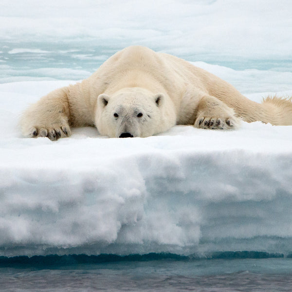 Just a Little Closer, Polar Bear on ice flow in the Arctic, by Robert Ross