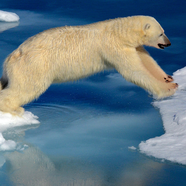 Leap of Faith, Polar Bear in the Arctic, by Robert Ross