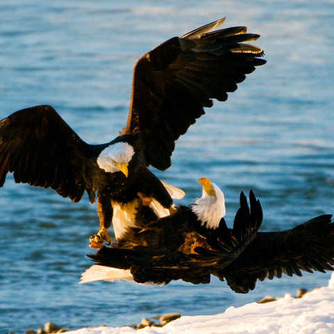 Mating Bald Eagles, Haines, Alaska, by Robert Ross