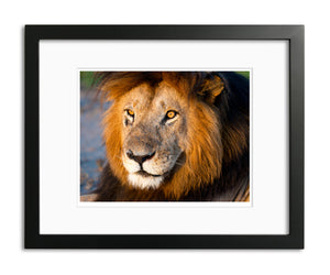 Old Man, Male Lion, Kenya, by Robert Ross
