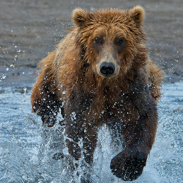 Racing for Food, Hallo Bay, Alaska, by Robert Ross