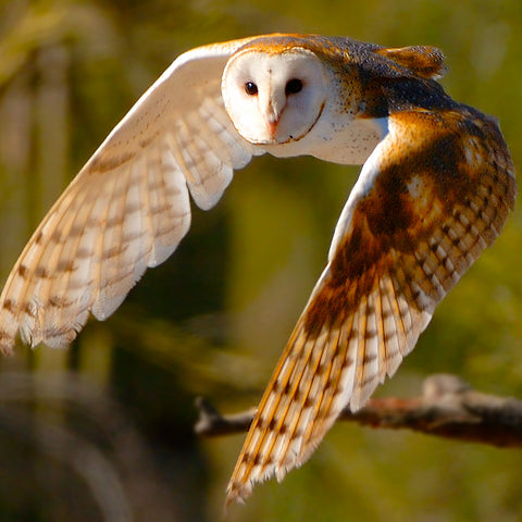 Silent Flight, Barn Owl, Arizona, by Robert Ross, Limited Edition Print