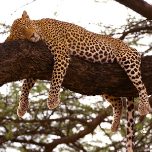 Sleeping Leopard, Kenya, by Robert Ross, Limited Edition Print