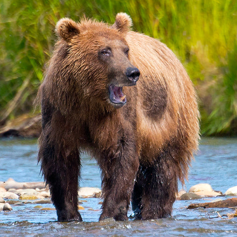 Sounding Off, Katmai National Park, Alaska, by Robert Ross