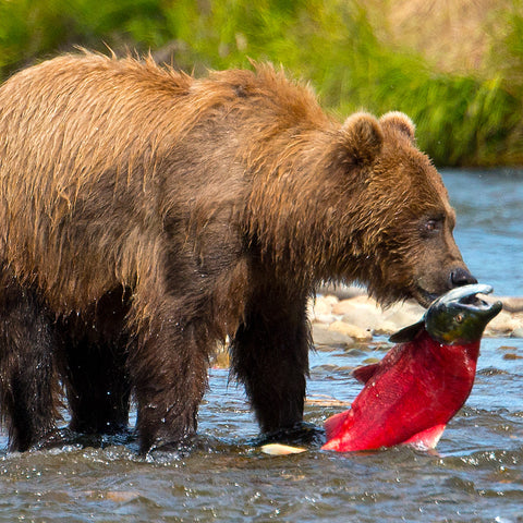 Supper, Katmai National Park, Alaska, by Robert Ross