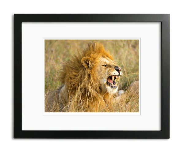 The Roar, Male Lion, Kenya, by Robert Ross