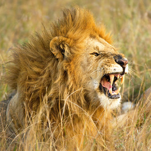 The Roar, Male Lion, Kenya, by Robert Ross, Limited Edition Print