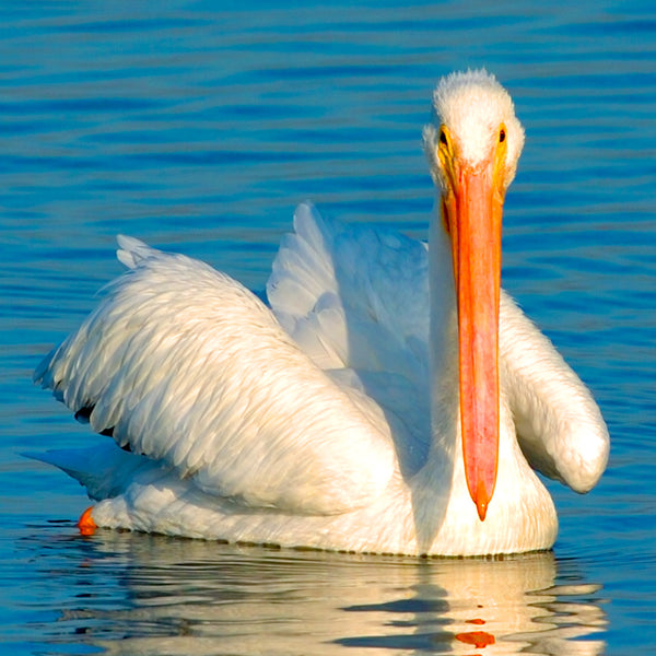 Lovely White Pelican, Hunting Beach, CA, by Robert Ross