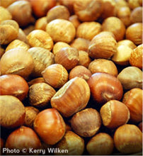 Load image into Gallery viewer, American Hazelnut