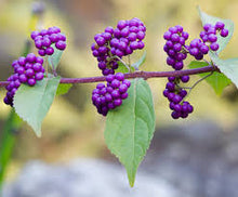 Load image into Gallery viewer, Beautyberry