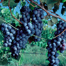 Load image into Gallery viewer, Concord Grapes