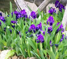 Load image into Gallery viewer, Purple Iris