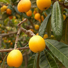 Load image into Gallery viewer, Loquat