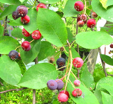 Load image into Gallery viewer, Serviceberry