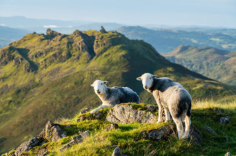 Sheep grazing high on the hills in the Lake District