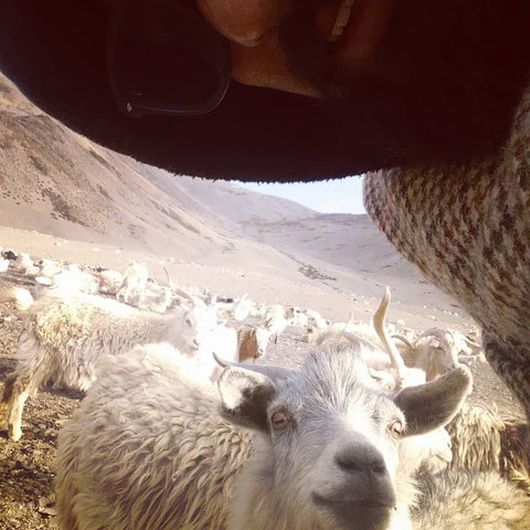 Atul's selfie with a Changthang goat