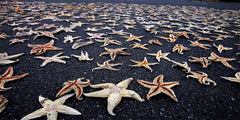Starfish on black beach