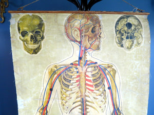 1930s anatomical teaching poster of skeleton