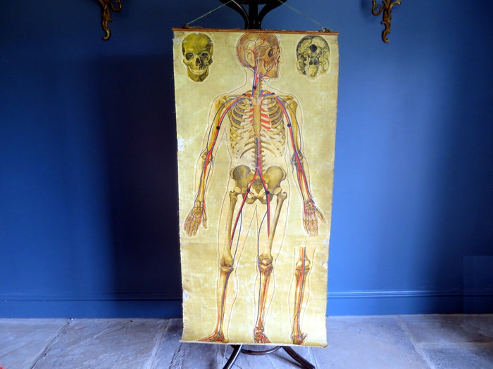 Wonderfully aged 1930s anatomical teaching poster