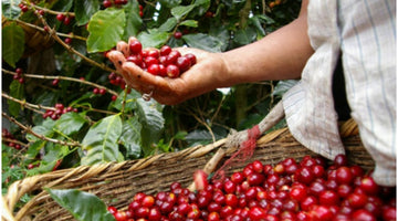 Our view on the coffee value chain distribution