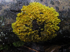 Xanthoria sp. on Cottonwood bark