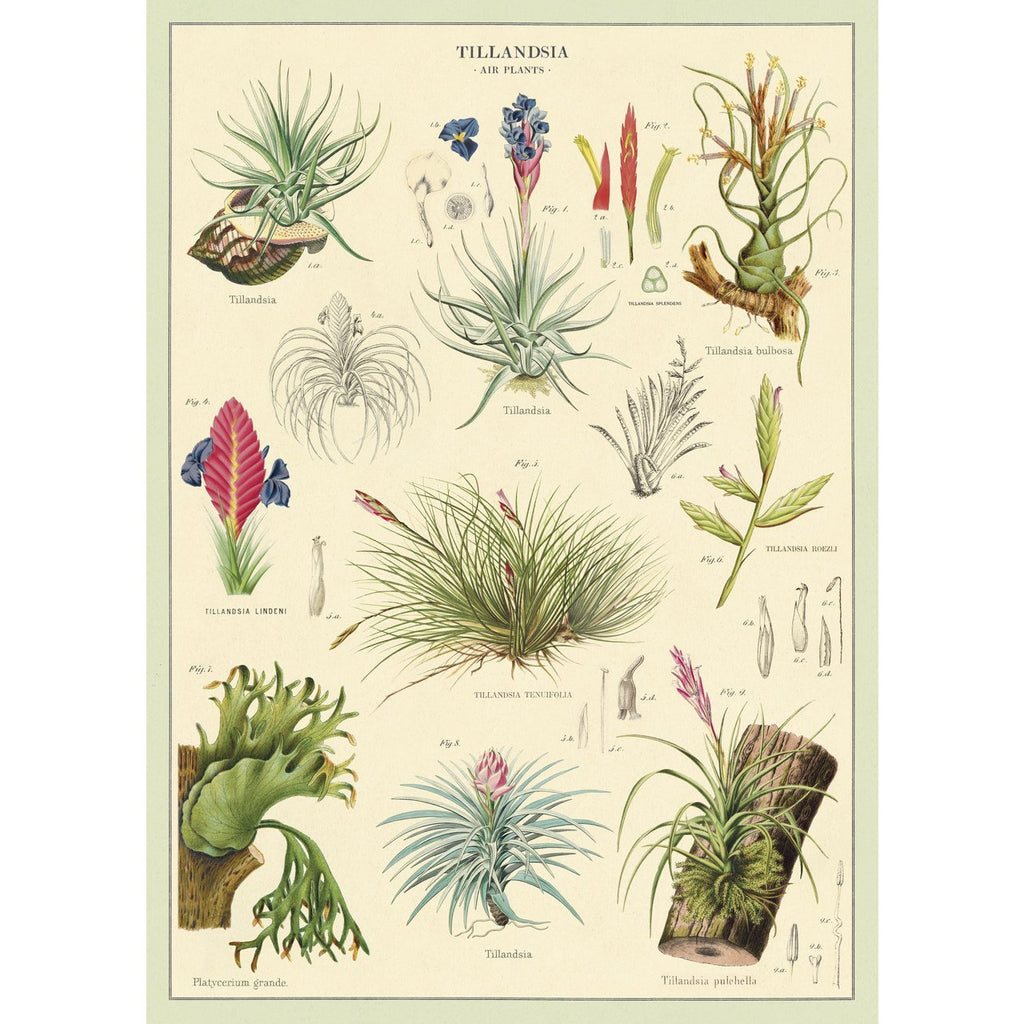 Tillandsia Cavallini Poster - Intrigue Ink Bozeman Boutique