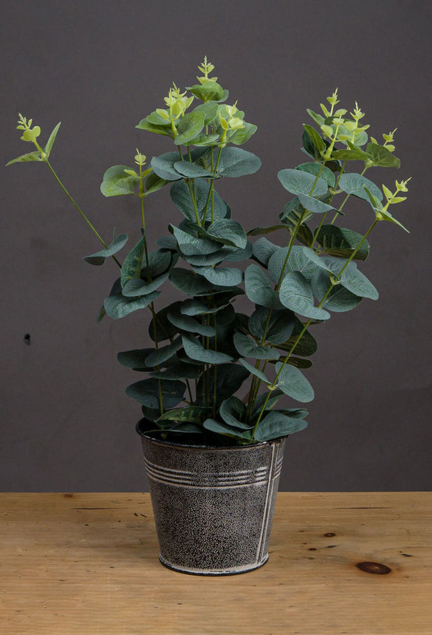 Eucalyptus Plant in tin
