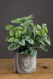 Artificial Variegated White And Green Nerve Plant