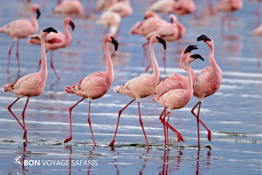 A flock of pink flamingos walking along the shores of Lake Nakuru in Kenya