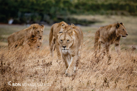 A pride of Masai Mara lions spotted at the Mara River during 6 Days tour
