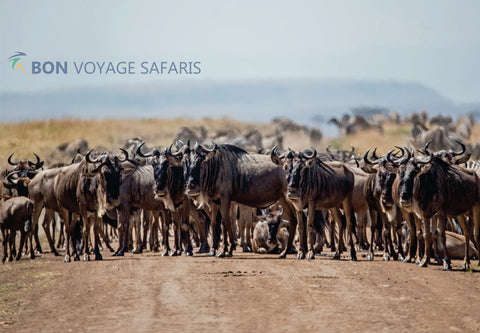 Large herds of wildebeest in Masai Mara National Reserve