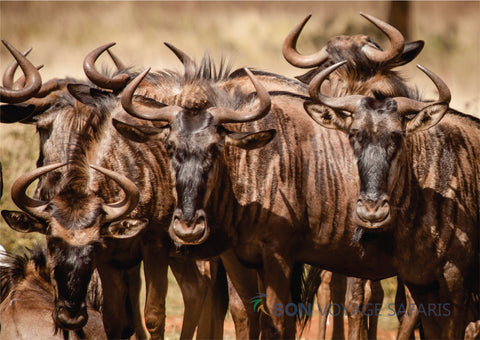 Herds of wildebeest in Masai Mara National Reserve