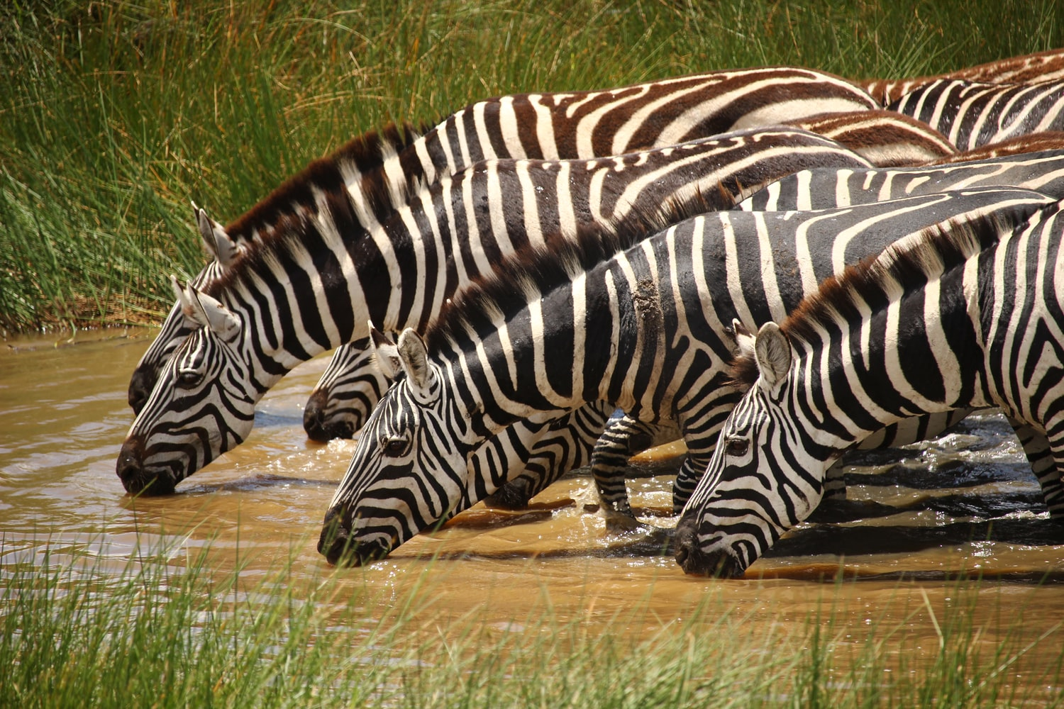 A dazzle of zebra drinking water at Mara River during small group joining Masai Mara National Reserve safari Kenya tours