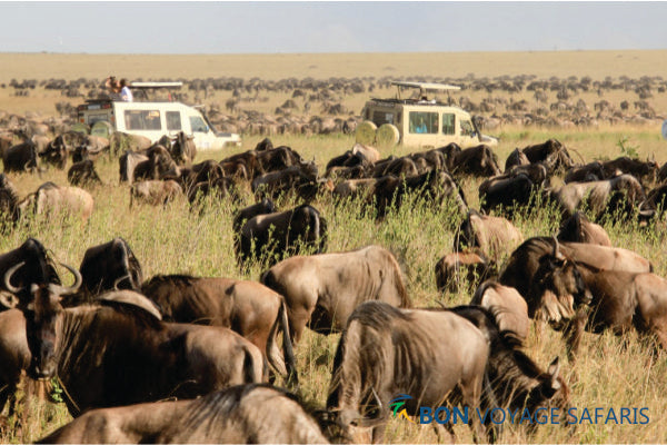 Two white 4x4 jeeps with a group of tourists passing through a herd of wildebeests in Masai Mara during a 3-day great migration African safari