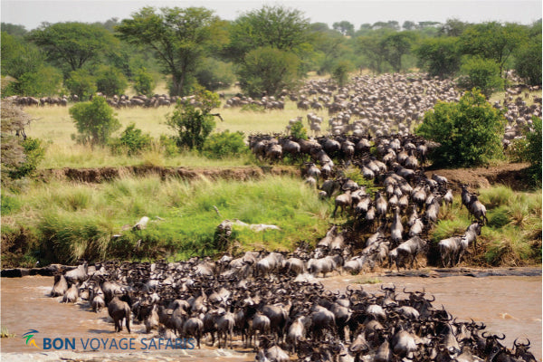 A herd of wildebeest crossing the Mara River in Masai Mara during 3 days great migration African safari