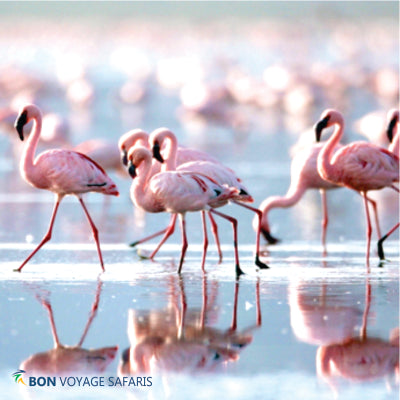 Sweeping views of dozens of flamingos line at the shores of Lake Nakuru