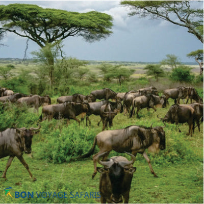 A herd of wildebeests on the green grass field in Masai Mara National Reserve during 3-day great migration African safari tours