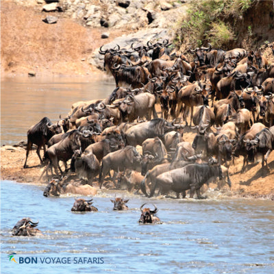 Panoramic views of wildebeest crossing at Mara River during the 7-day Kenya/Tanzania migration safari tours