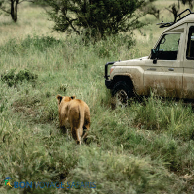 A lioness walking on tall grass near a white 4x4 Tanzania jeep in Masai Mara at daytime during a 10-Day Kenya Tanzania safari tour