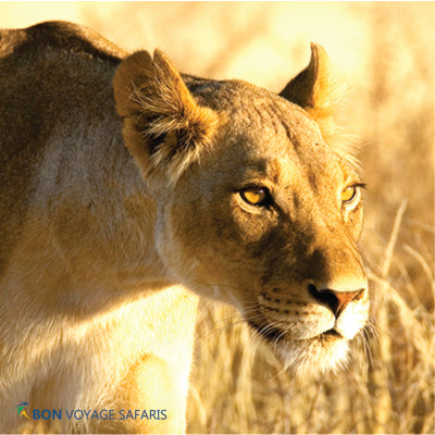A female lion spotted walking in the Masai Mara National Reserve during 3 days safari