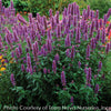 Agastache Blue Boa Hummingbird Mint