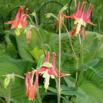 Aquilegia canadensis Native Columbine for sale