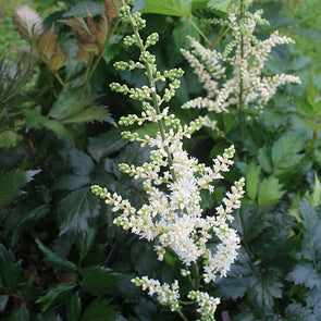 Astilbe 'Vision in White'