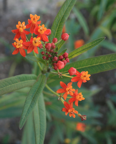 Asclepias curassavica Red Butterfly Tropical Butterfly Weed