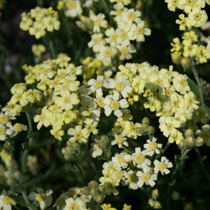 Achillea King Edward Yarrow
