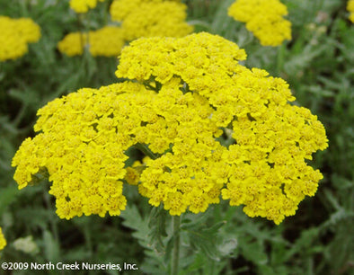 Achillea Moonshine Yarrow