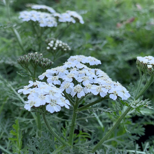 Achillea New Vintage White Yarrow