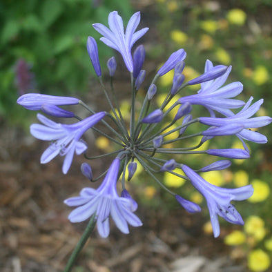 Agapanthus africanus 'Peter Pan' Lily of the Nile
