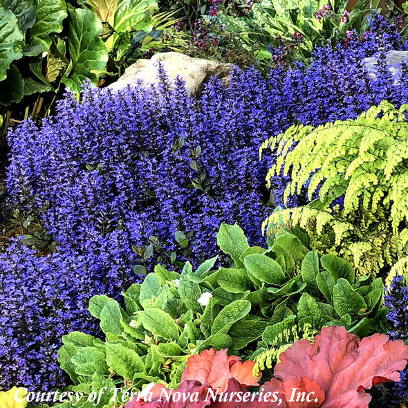 Ajuga reptans 'Blueberry Muffin' Bugleweed